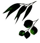 eaculyptus2