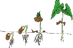 germination épigée