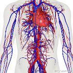 sistem-peredaran-darah-pada-manusia2