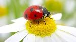 ladybug-daisy.ngsversion.1396530835098.adapt.1900.1