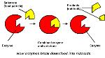 Enzyme diagram