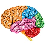 stickers-human-brain-lateral-view
