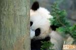 Panda se escondendo
