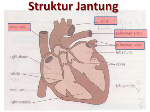 struktur jantung manusia