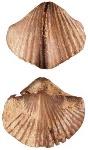 brachiopod1