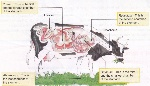 digestive-system-of-ruminant (1)