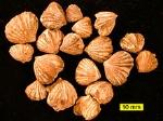 220px-Rhynchotremadentatum