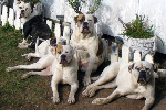 american_bulldog_supplements1