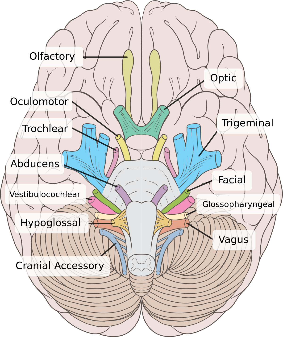 1200px-Brain_human_normal_inferior_view_with_labels_en.svg