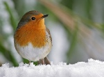 Roodborst-in-sneeuw-Andy-Bright-300x225