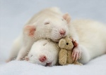 ratSleeping