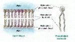 membranebilayer