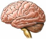 top-7-organos-mas-importantes-del-ser-humano-428261