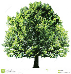 tree-green-leaves-isolated-white-backgroun-background-vector-35329679