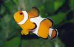 pez payyasso