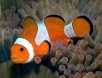 Clownfish_
