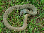 serp verda juvenil
