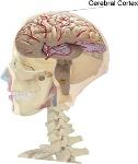 Cerebral_Cortex_location