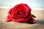 Sea Rose_476x319