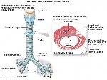trachea-and-esophagus-anatomy-anatomy-of-trachea-human-anatomy-diagram
