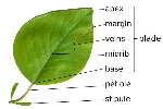 parts_of_a_leaf-56abaed23df78cf772b5625a