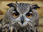 The Eurasia Eagle Owl3