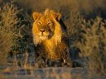 LionWallpapers