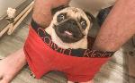 3140image_pug-sits-boxer-toilet