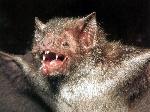 vampire-bat