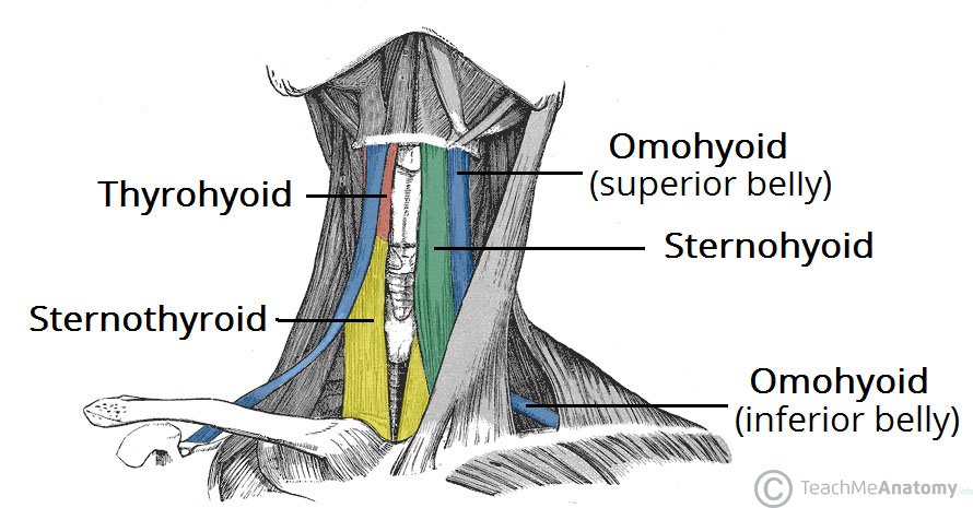 Anterior-View-of-the-Infrahyoid-Muscles-of-the-Neck
