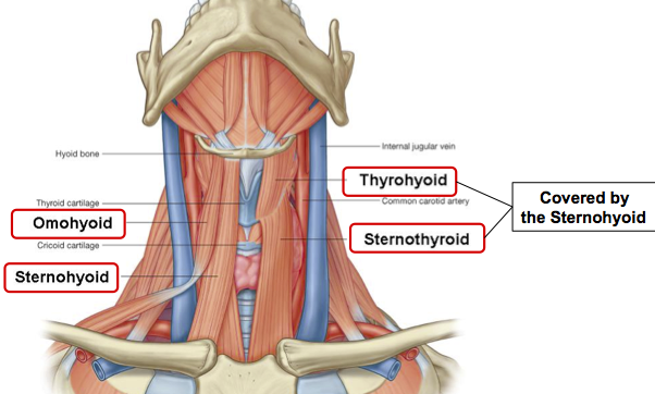 Infrahyoid-Muscles
