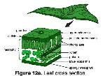 leaf_cross_section-1