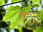 stomatal-pore