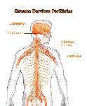 sistema-nervioso-periferico