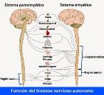 funcion-del-sistema-nervioso-autonomo