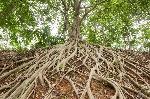 31371837-le-radici-dell-albero-di-banyan-che-è-apparso-sulla-terra-