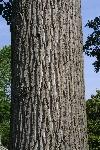 Liriodendron-tulipifera-tronco