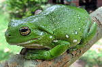 Australia_green_tree_frog_(Litoria_caerulea)_crop