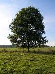 Ash_Tree_-_geograph.org.uk_-_590710