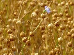 flower_flax_field1