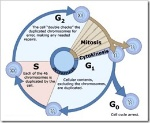 cell cycle8