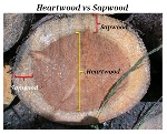 Difference-Heartwood-and-Sapwood
