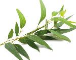 Eucalyptus-globulus-Labill