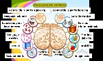 funciones-cerebrales
