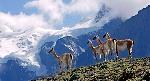 8-slide-patagonia-guanaco-pack-wildlife-pano