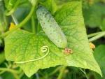 Cucumber-on-leaf-1
