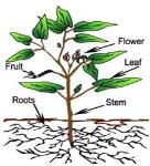 morfologi-tumbuhan