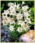 edelweiss_-_stella_alpina