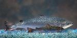 hres-aquadvantage-salmon-vs-non-transgenic-sibling-aquabounty-technologies_custom-dab83824d097156693ec3233cb0c7d0469badecd-s900-c85