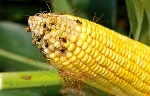 insects-devouring-corn-CRW-beetles